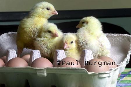 2001 Easter Chicks