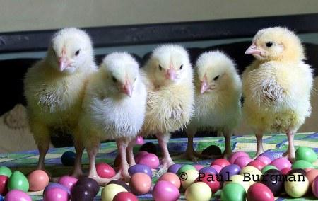 Easter Chicks4